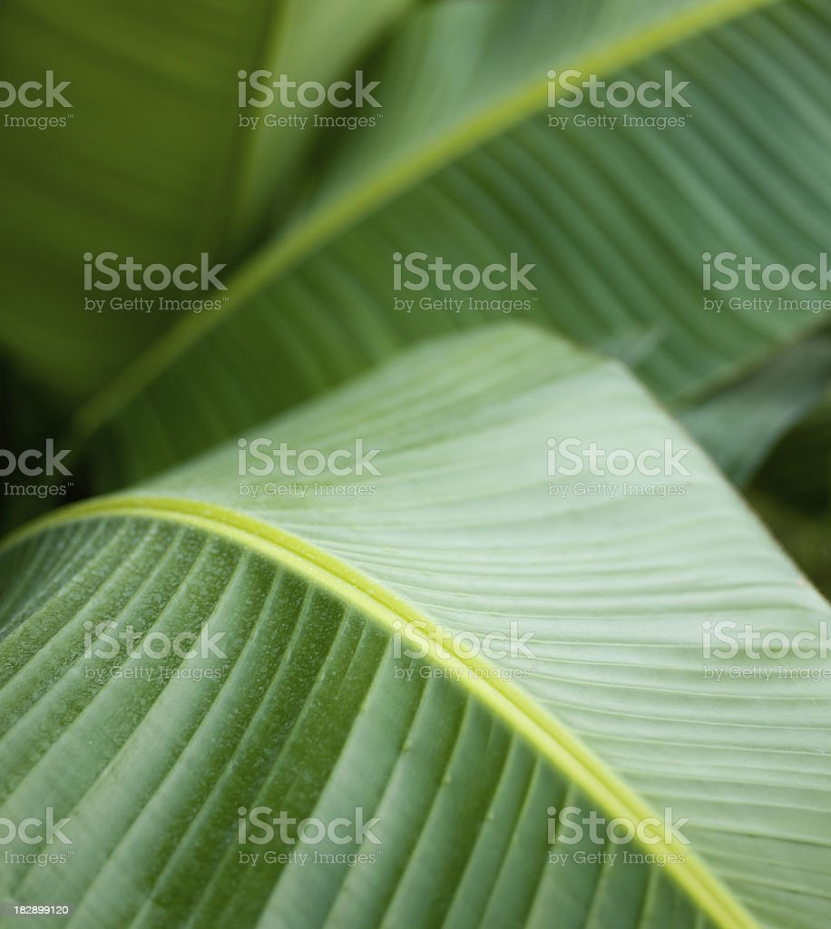 Banana palm leaves royalty-free stock photo