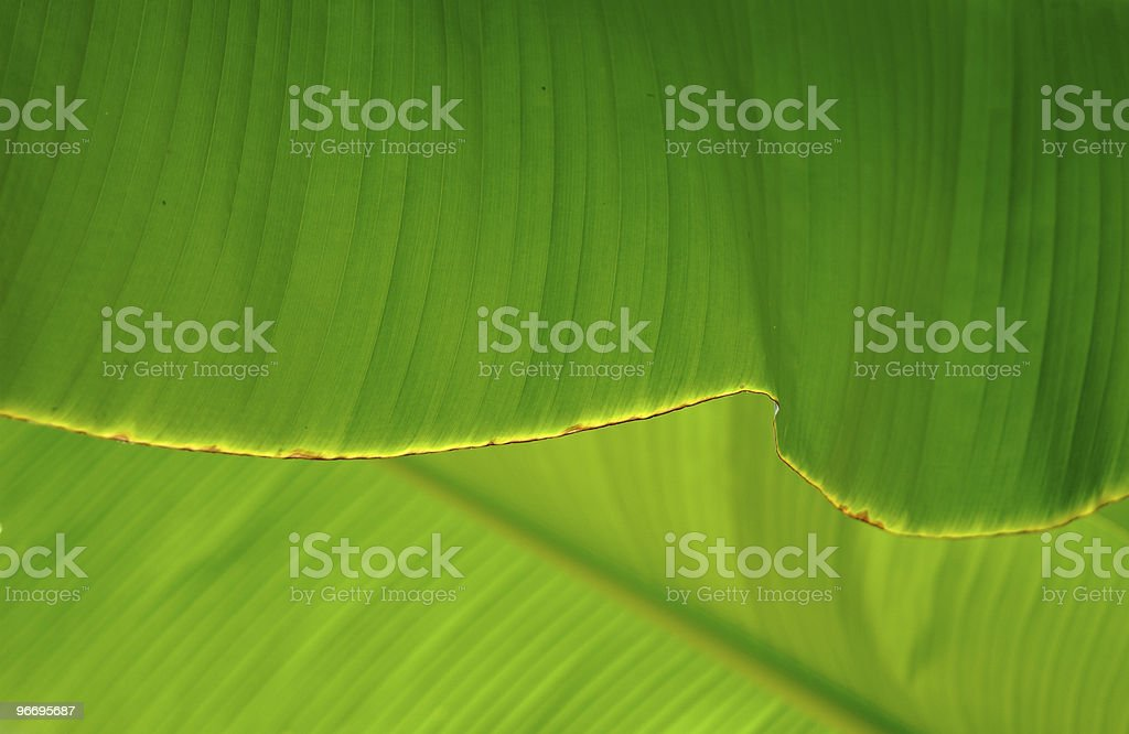 banana palm tree leaf royalty-free stock photo
