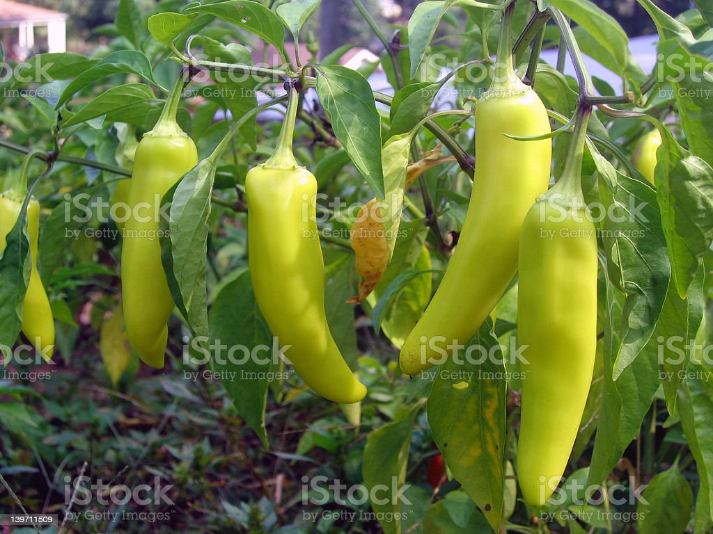 banana peppers royalty-free stock photo