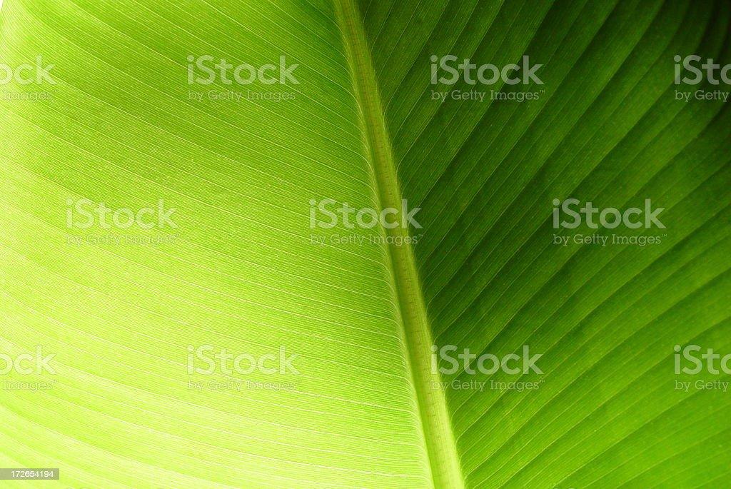Banana Plant 01 stock photo