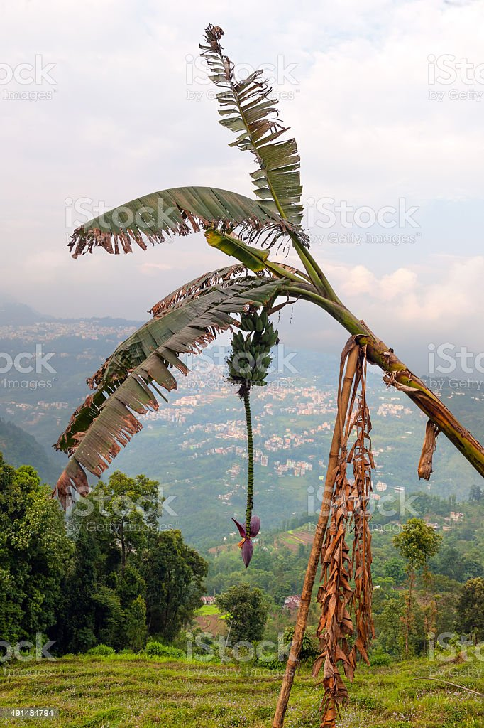 Banana plant in Rumtek Sikkim India,Tibet, Asia stock photo
