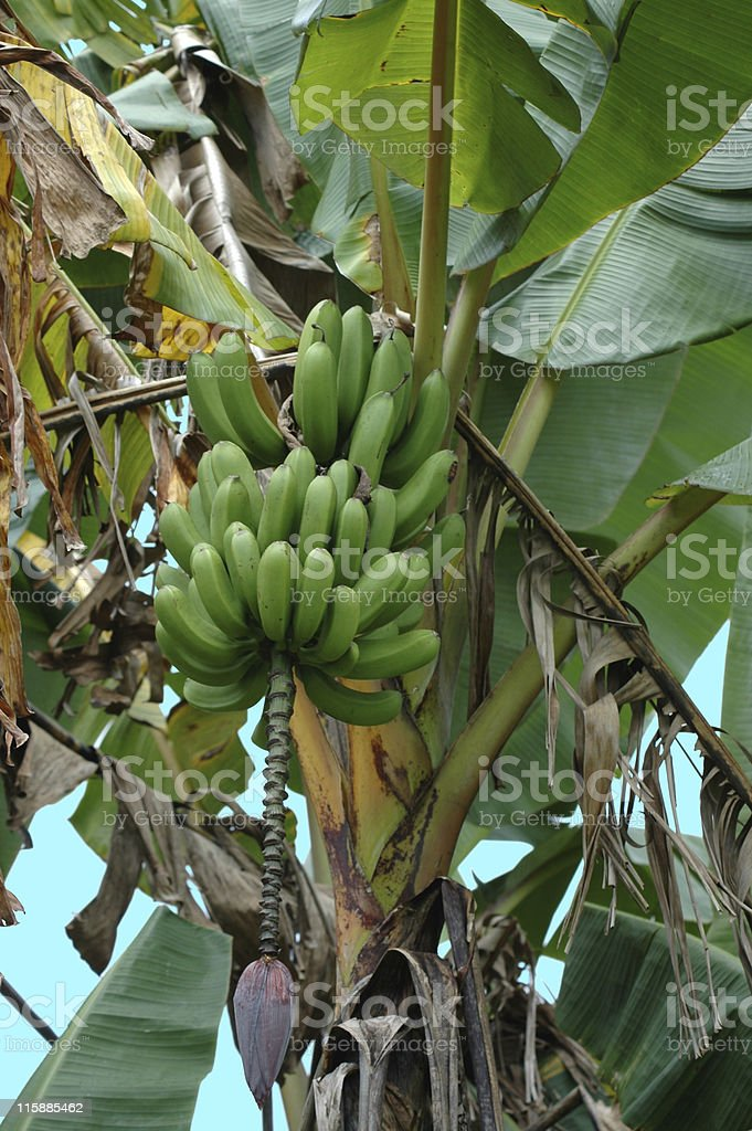banana plant, Musa x paradisiaca, with fruit royalty-free stock photo