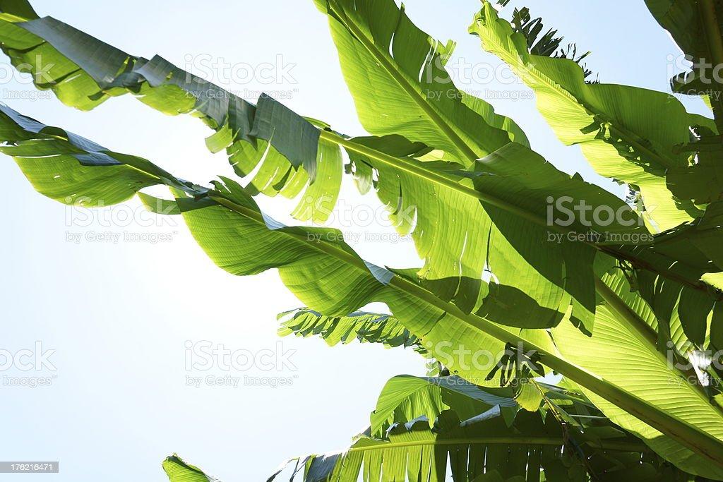 Banana plant royalty-free stock photo