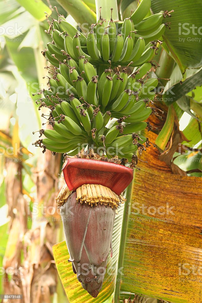 Banana plant stock photo