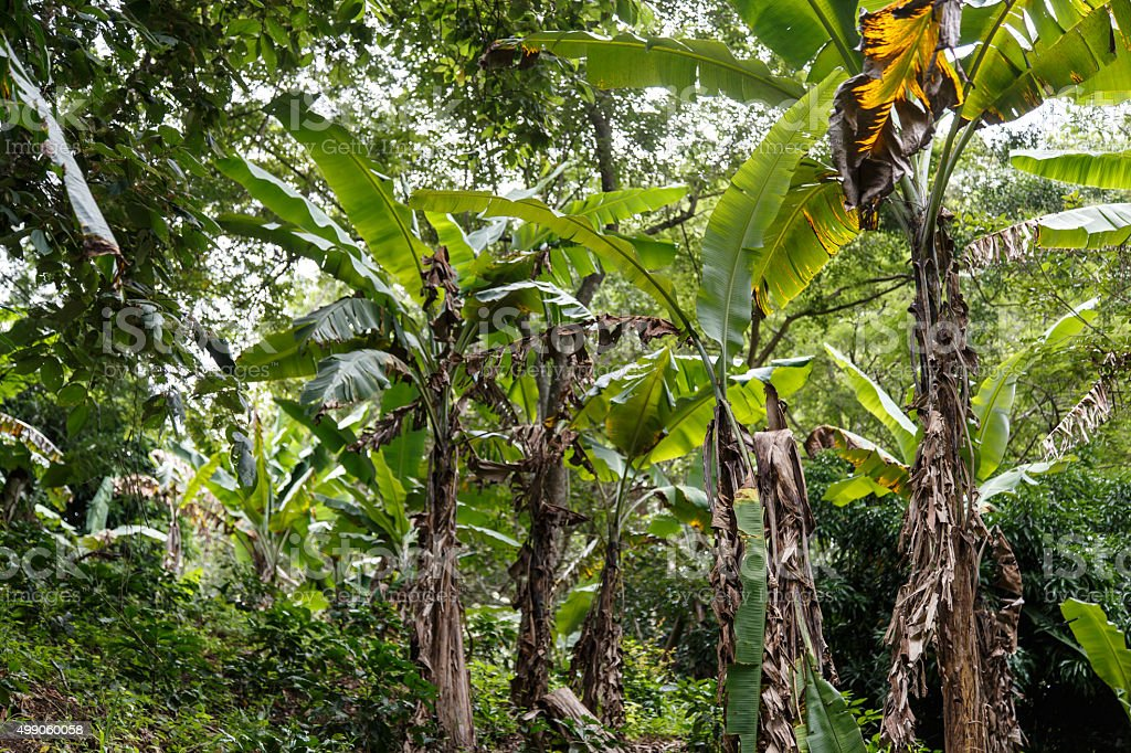 banana plantation from the northt of nicaragua stock photo