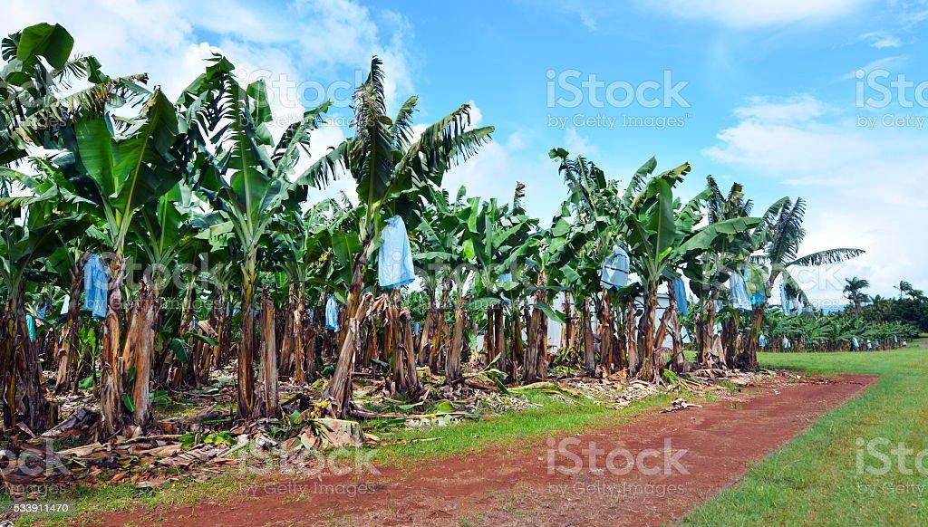 Banana plantation in Queensland Australia stock photo