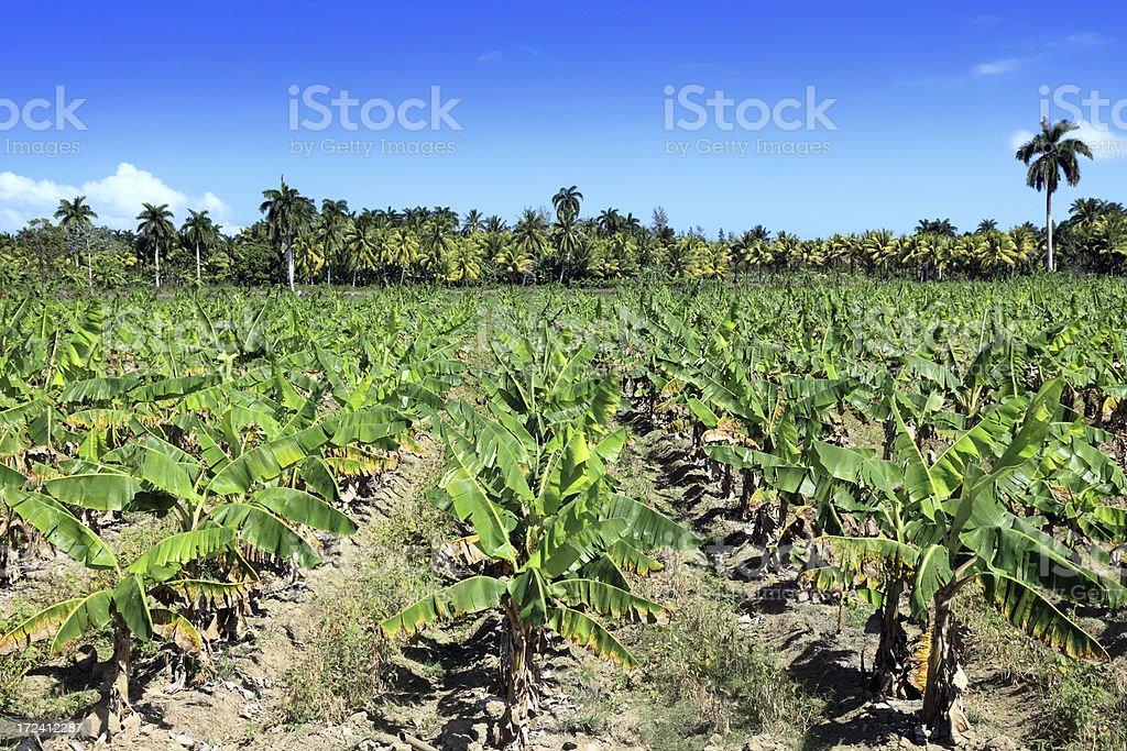 Banana plantation royalty-free stock photo