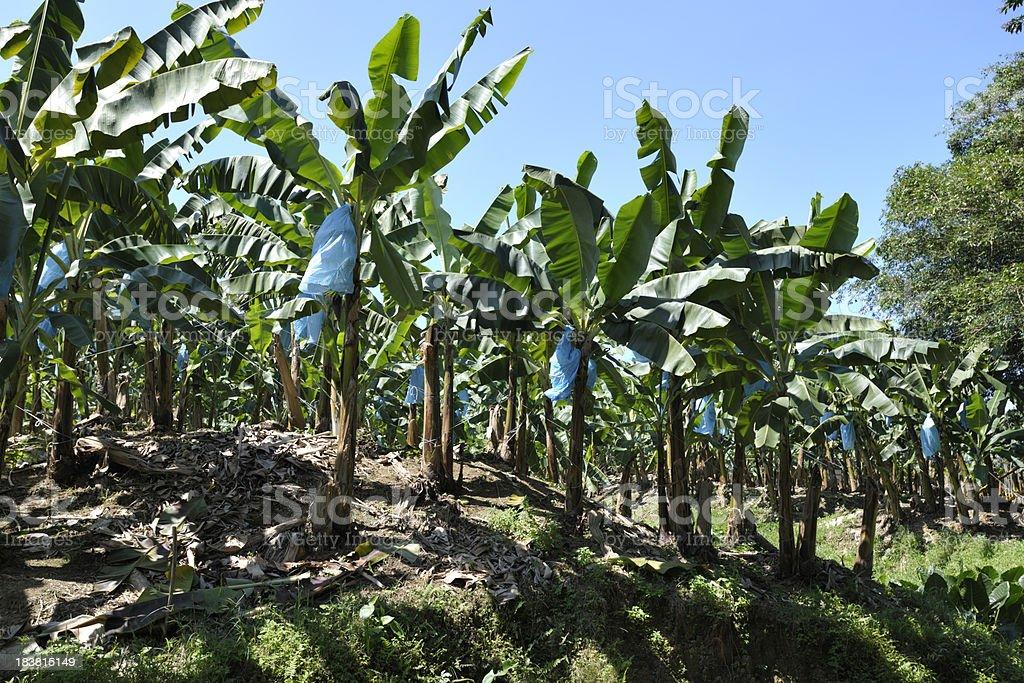 Banana Plantation Produces a Major Export for Costa Rica stock photo