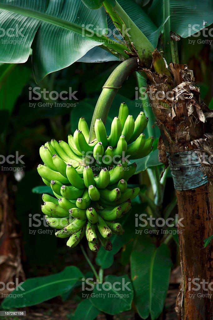 banana republic royalty-free stock photo