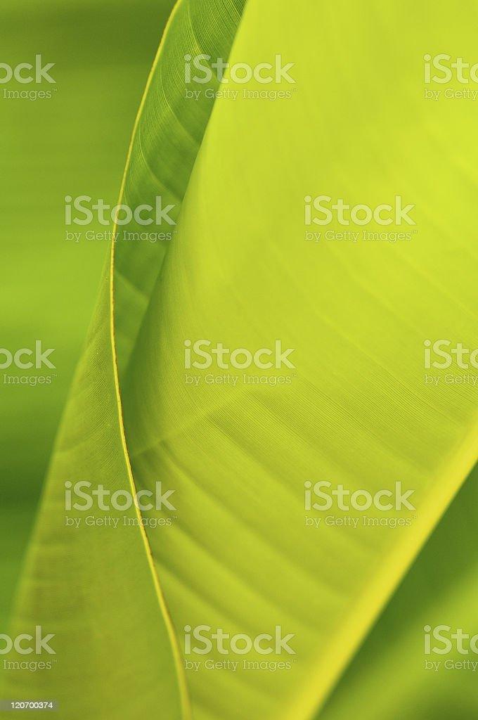 Banana sheet.(Musa basjoo) royalty-free stock photo
