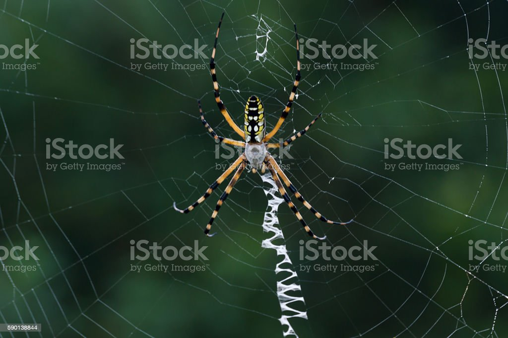 Banana Spider Cupiennius Brazilian Wandering Spider stock photo