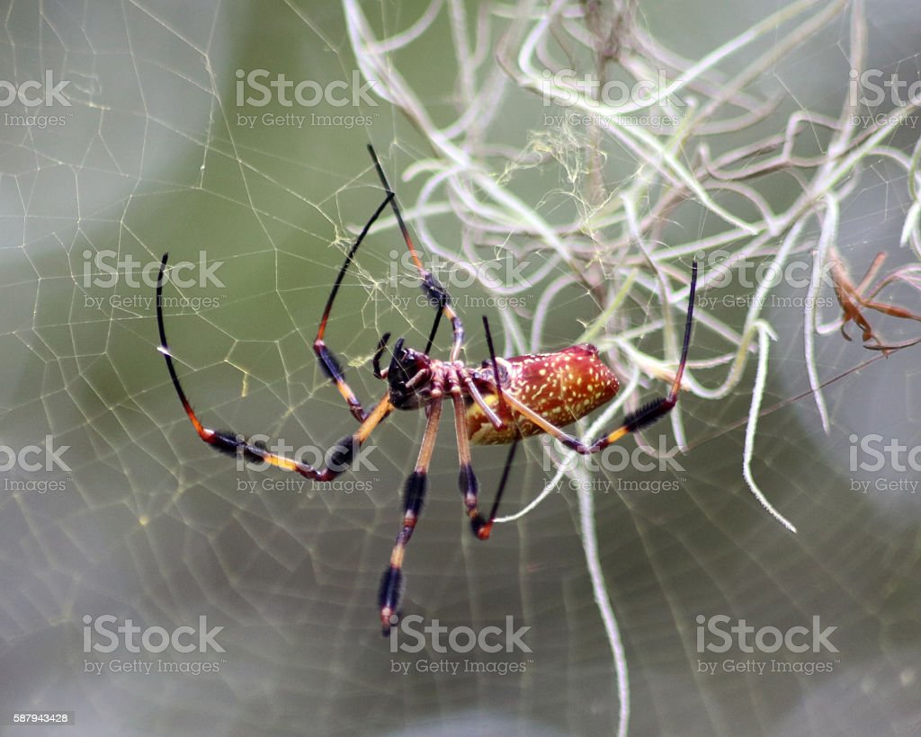 Banana spider - Golden Silk orb-weaver photo libre de droits