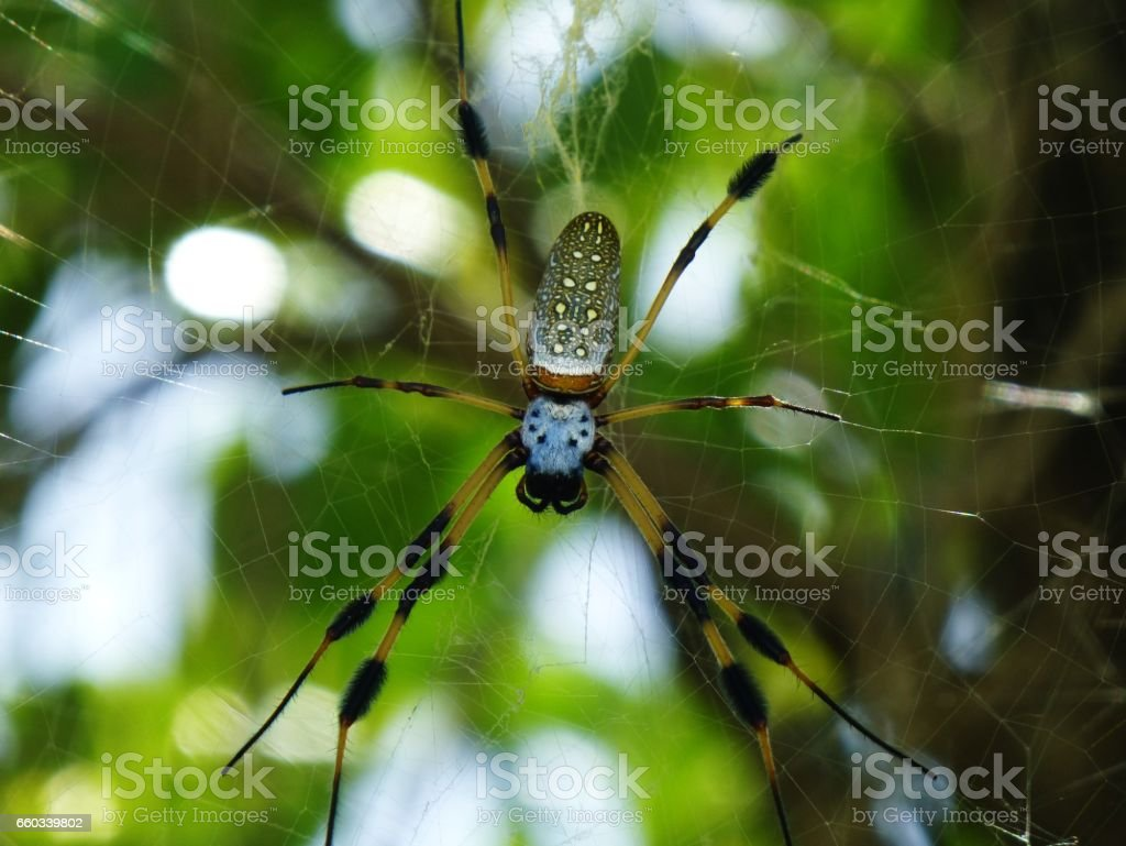 Banana spider in web stock photo