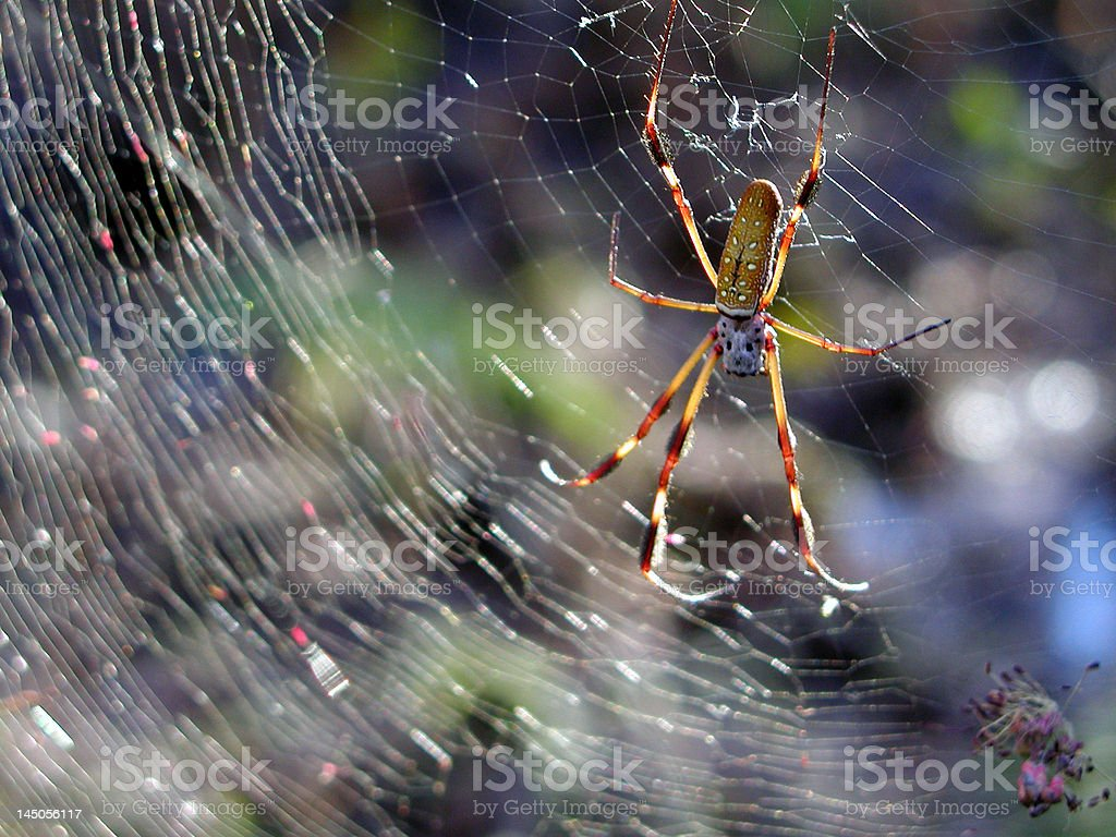 Banana Spider on silk web royalty-free stock photo