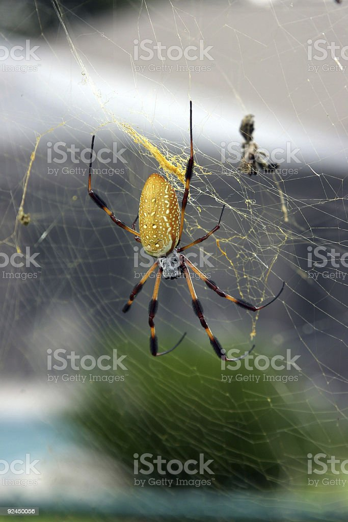 Banana Spider stock photo
