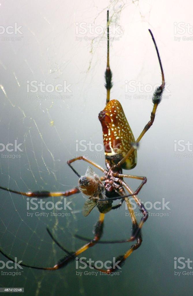 Araignée vous envelopper proie à la banane photo libre de droits