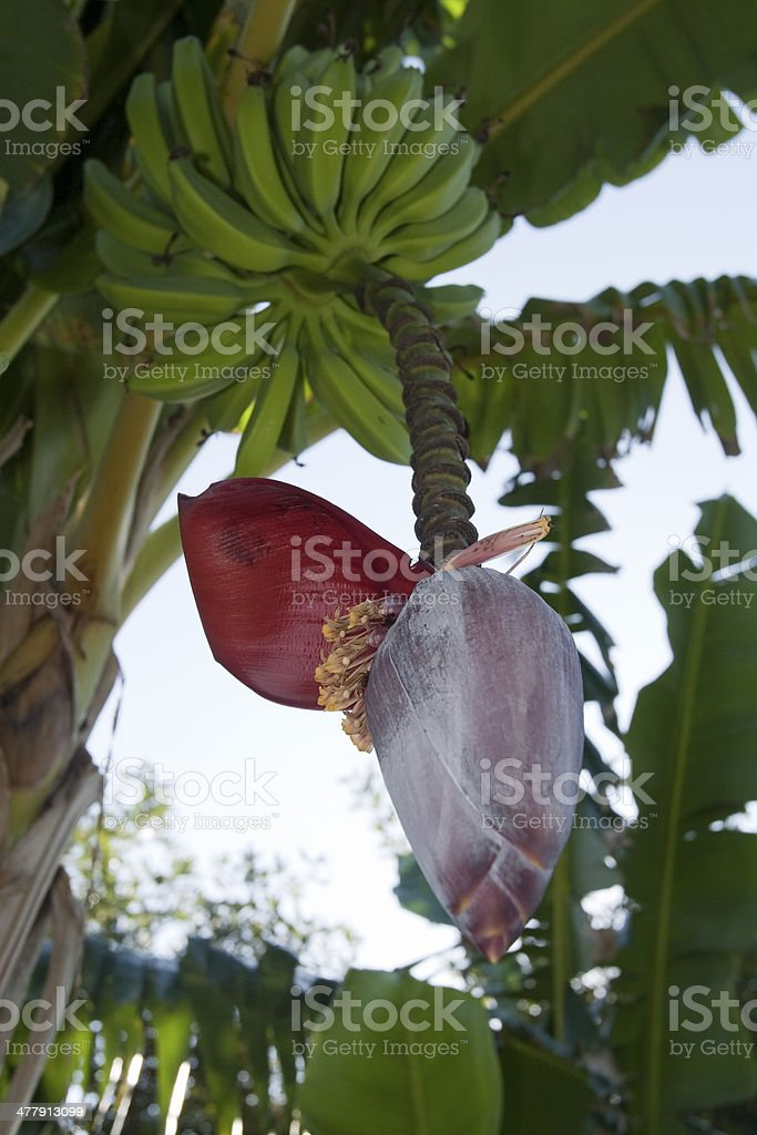Banana tree flower stock photo