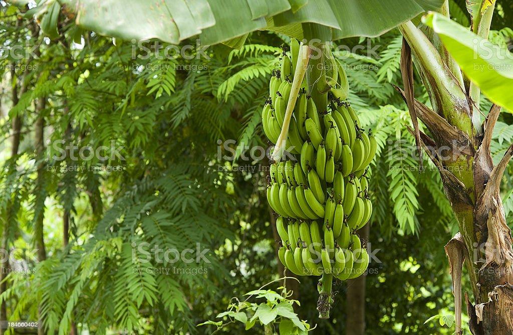 Banana Tree Harvest royalty-free stock photo