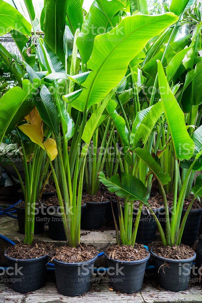 Banana Tree in the vase stock photo