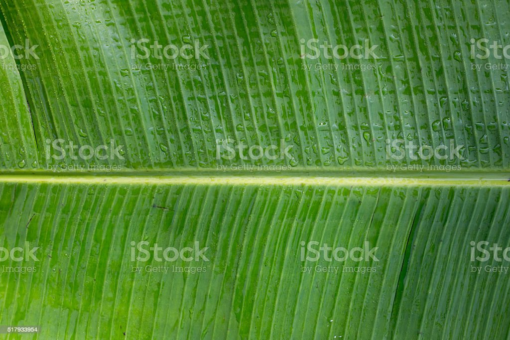 Banana Tree Leaf stock photo