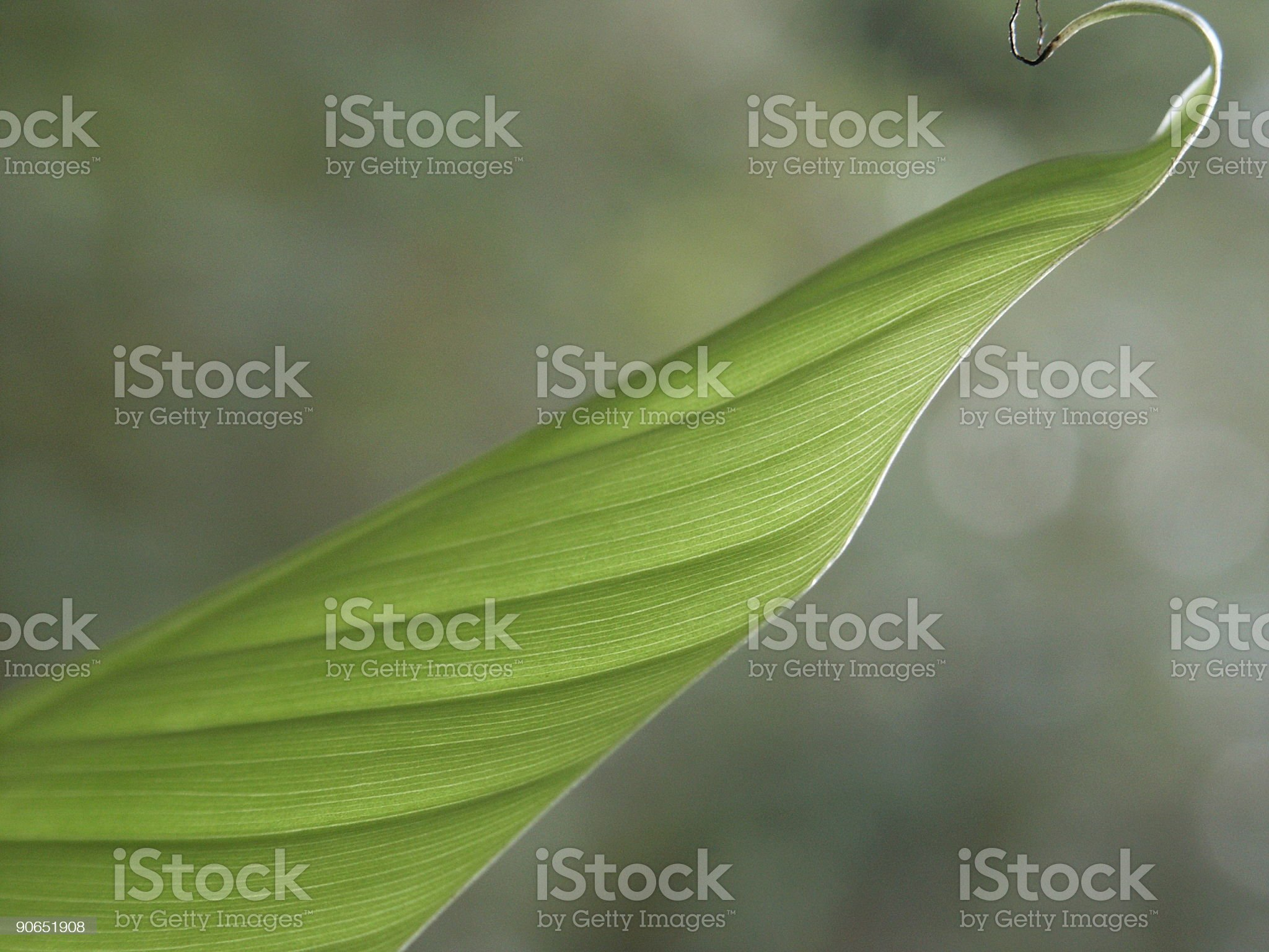 banana tree leaf royalty-free stock photo