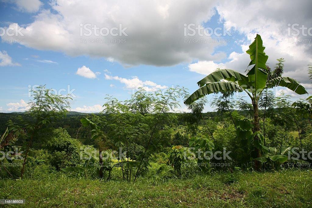 banana tree Lizenzfreies stock-foto