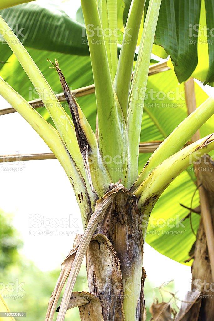 Banana Tree royalty-free stock photo