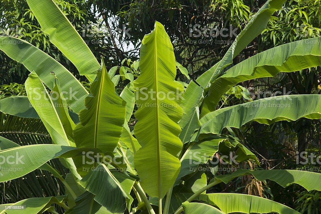 Banana Tree Tropical rainforest jungle royalty-free stock photo