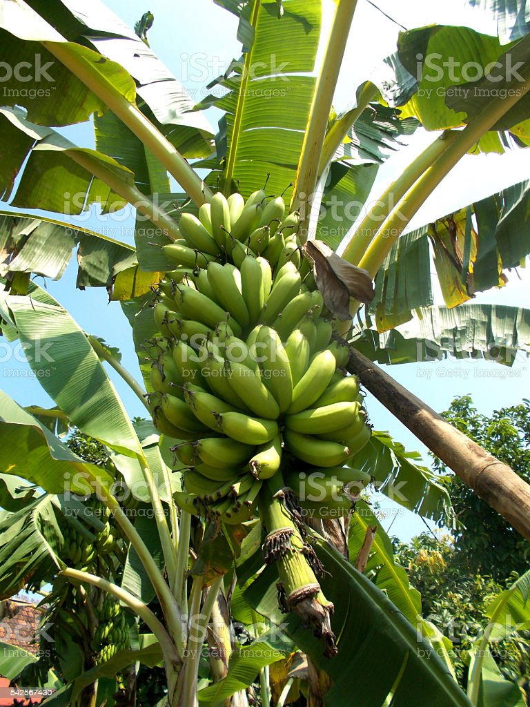 Banana tree with a bunch of banana fruits stock photo