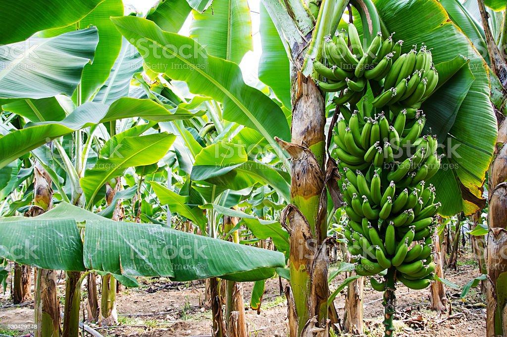 Banana tree with a bunch of growing bananas, Alanya, Turkey stock photo