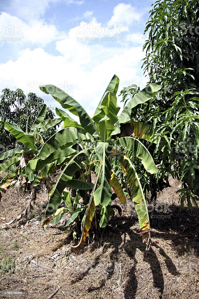 Banana trees in the orchard. royalty-free stock photo