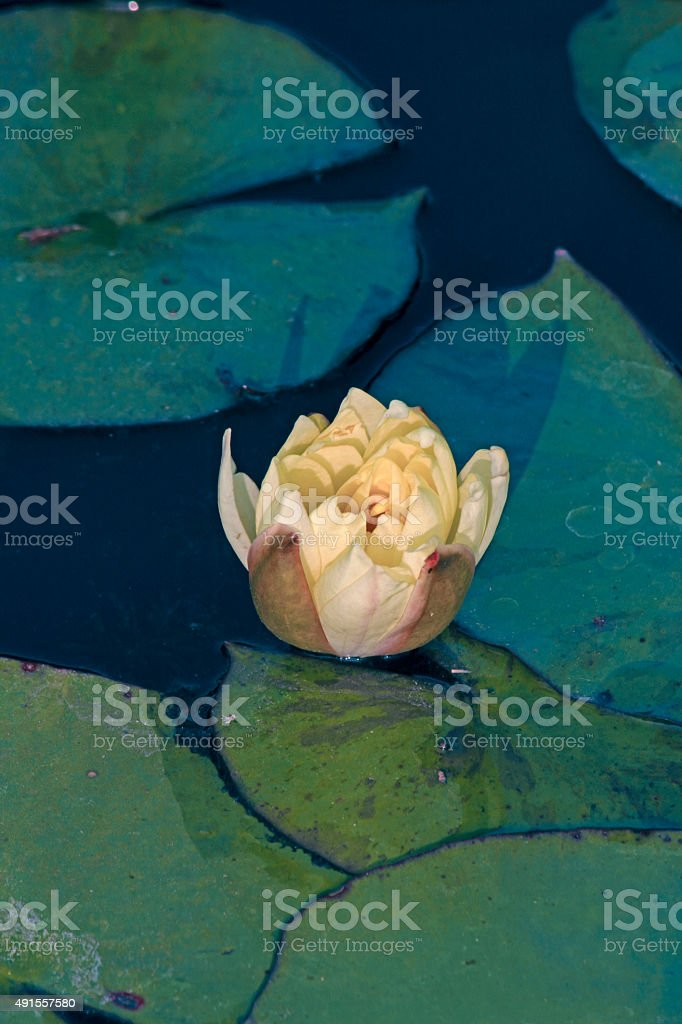 Banana waterlily, Yellow waterlily, Mexican waterlily, Nymphaea stock photo