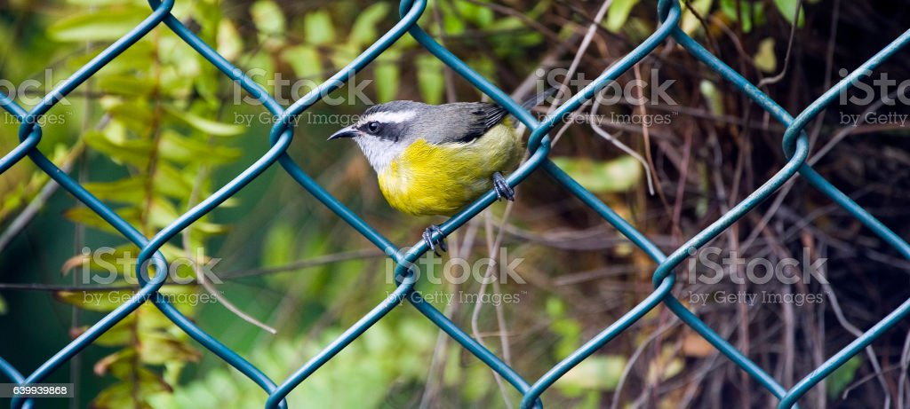 Bananaquit bird perched on fence grid stock photo