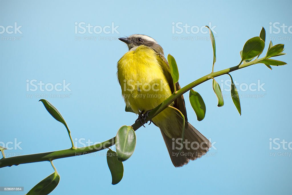 bananaquit, Coereba flaveola stock photo