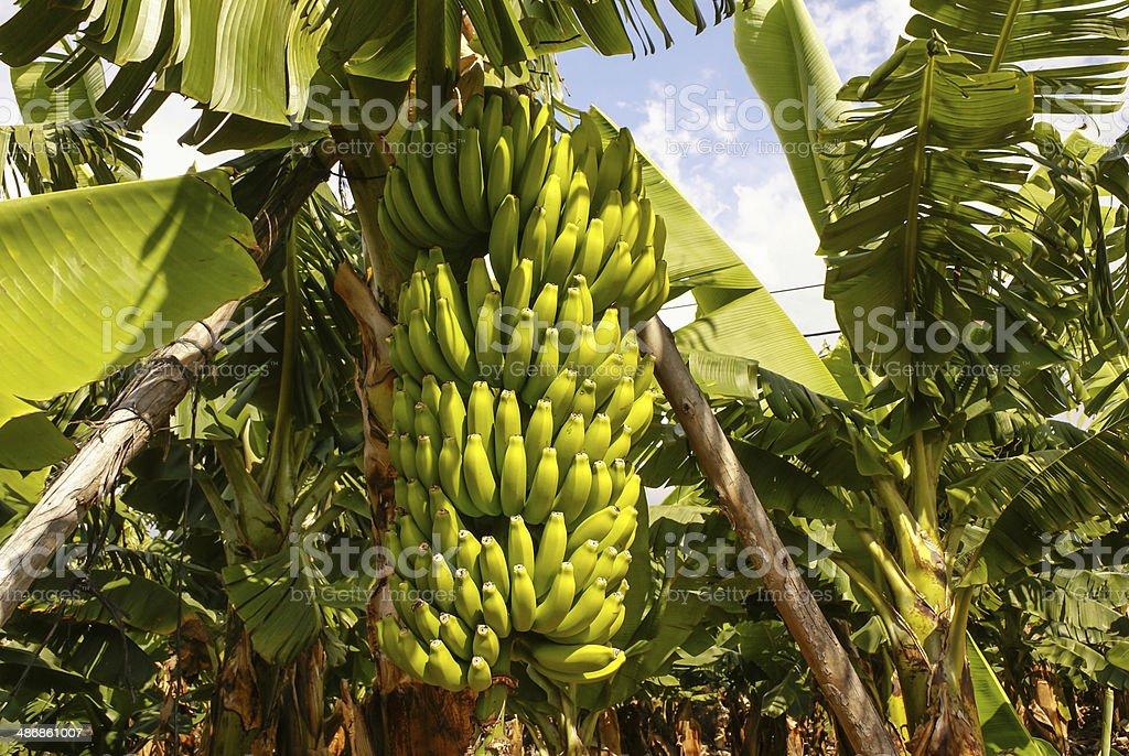 Bananas growing, Puerto de la Cruz, Tenerife, Canary Islands, Sp stock photo