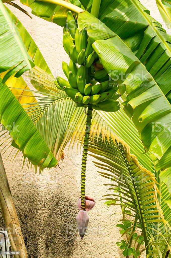 Bananas hanging from the banano tree. stock photo