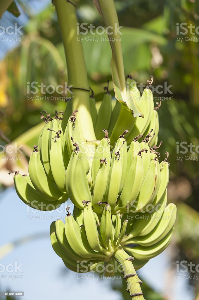 bananas hanging in a tree royalty-free stock photo