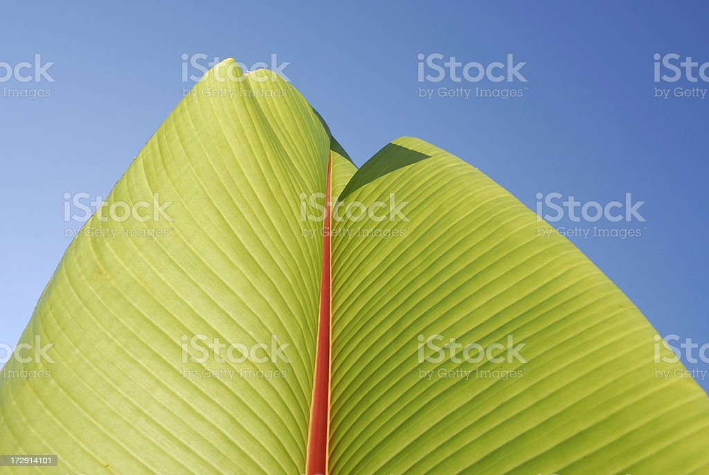 bananas leaf stock photo