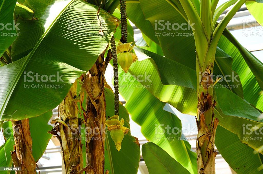Bananier du Japon royalty-free stock photo