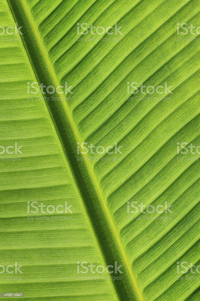 Bananna Leaf Detail stock photo