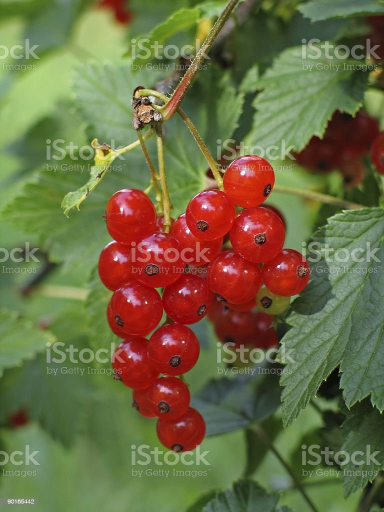 banch of red currant royalty-free stock photo