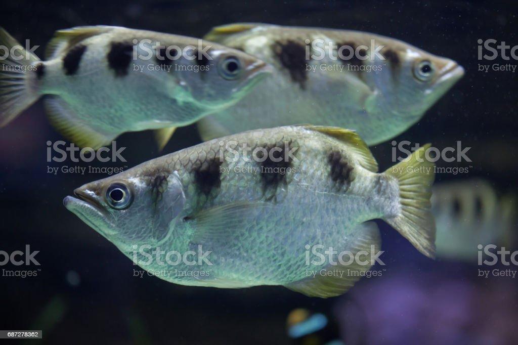 Banded archerfish (Toxotes jaculatrix) stock photo