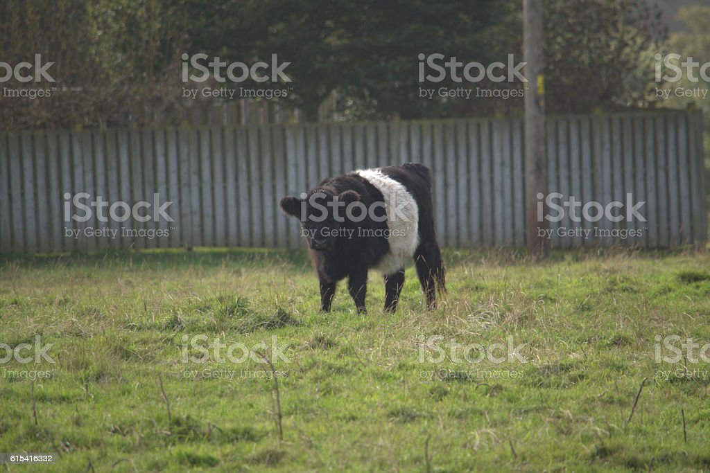 Banded Ayrshire cow stock photo