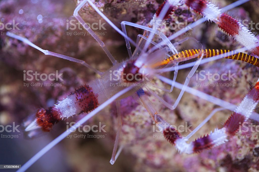 Banded Coral Shrimp eating Yellow Pipefish stock photo