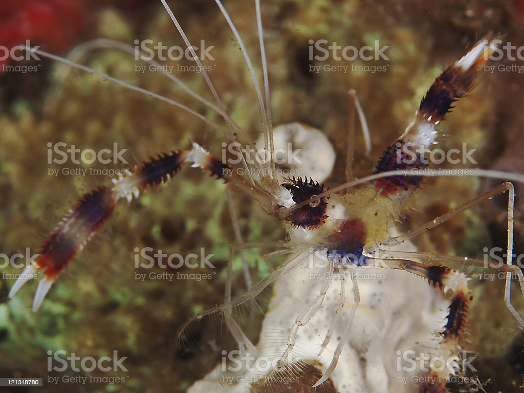 Banded coral shrimp (Stenopus hispidus) stock photo