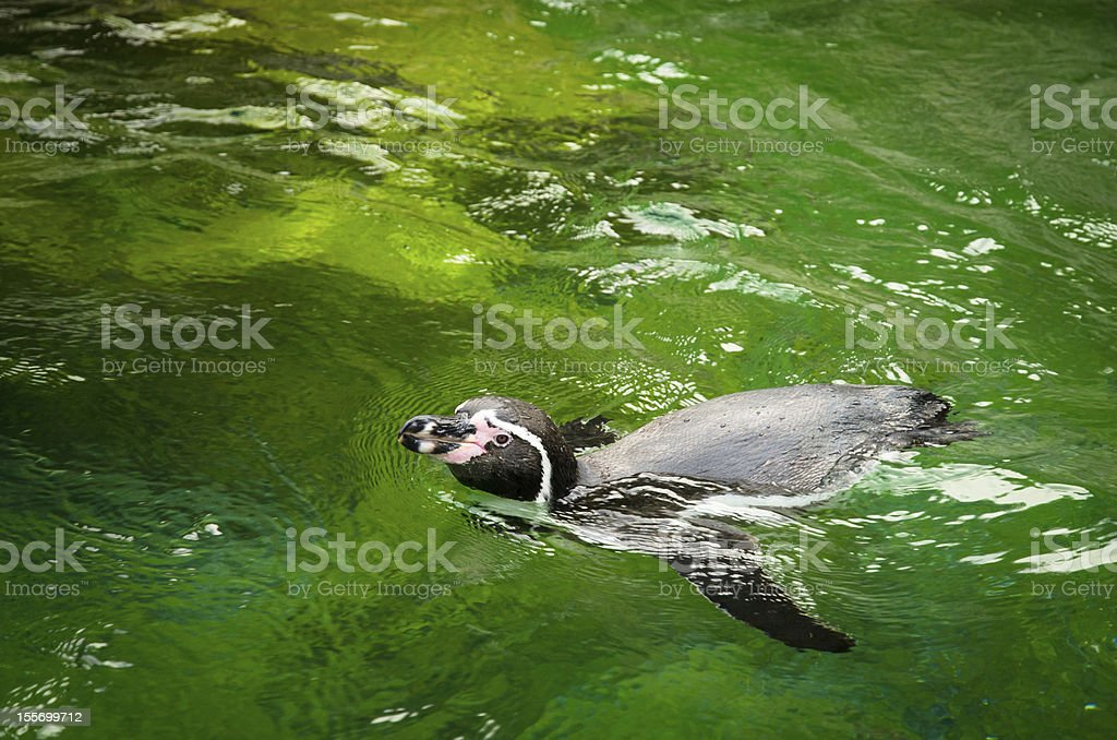 Banded Humboldt Penguin stock photo