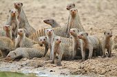 Banded Mongoose - African Wildlife Background - Family Forever