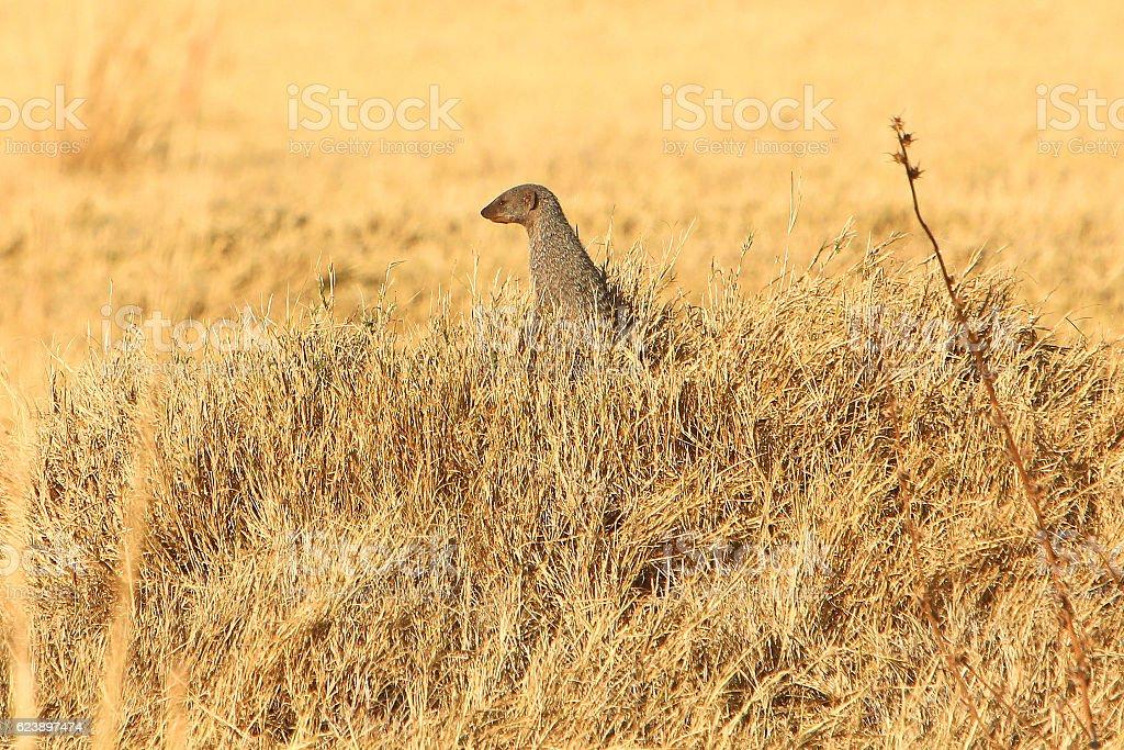 Banded mongoose in Savuti, Chobe National Park, Botswana stock photo
