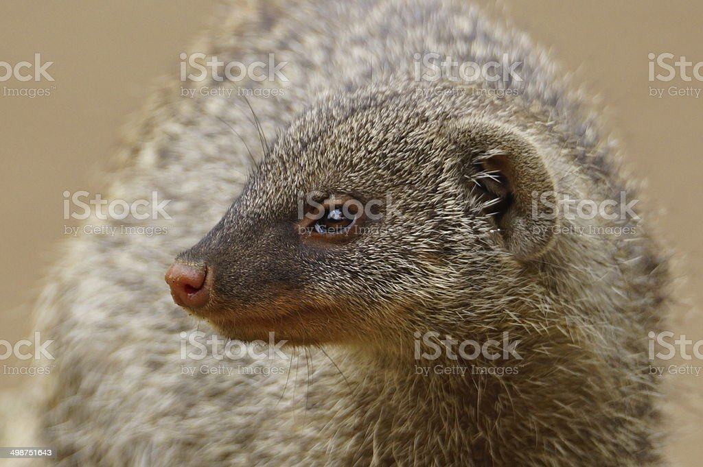 Banded mongoose stock photo