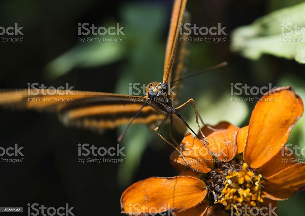 Banded Orange Heliconian Butterfly (Dryadula phaetusa) Focus on Proboscis royalty-free stock photo
